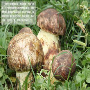 舌尖新鲜见手青野生菌蘑