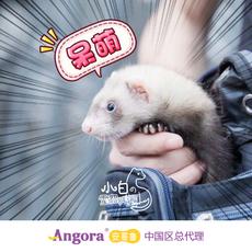 【视频选貂】小白安哥鲁雪貂*宠物貂活体*包邮运输保活 安格鲁貂
